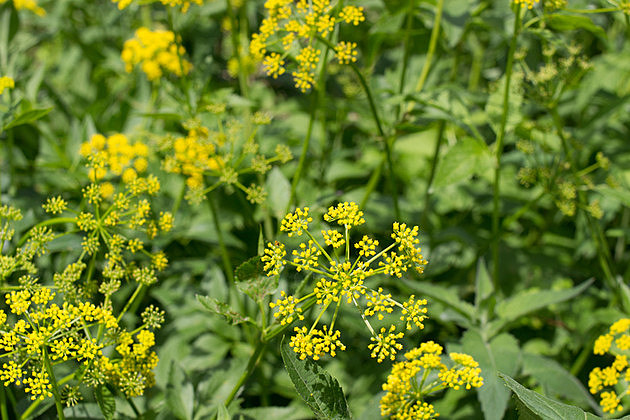 Group of wild parsnip plants